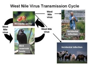 West Nile Virus transmission cycle; the cycle for Chikungunya virus is similar. In urban areas the bird component is very commonly the ubiquitous urban species of pigeons. Credit: Wikipedia Commons